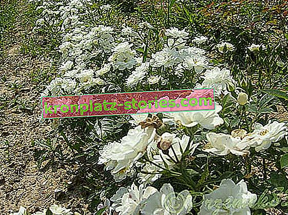 White Cover Bodendecker Rose