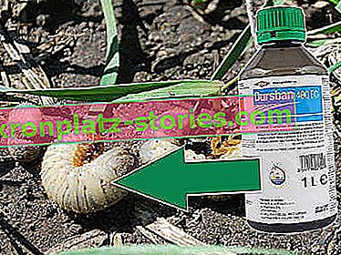 Dursban 480 EC za grubs
