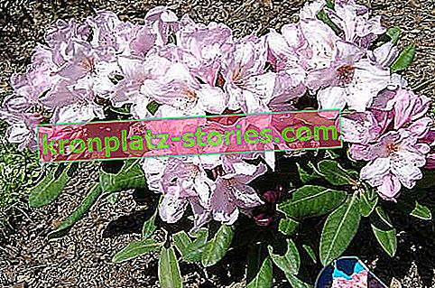 rododendron Omega